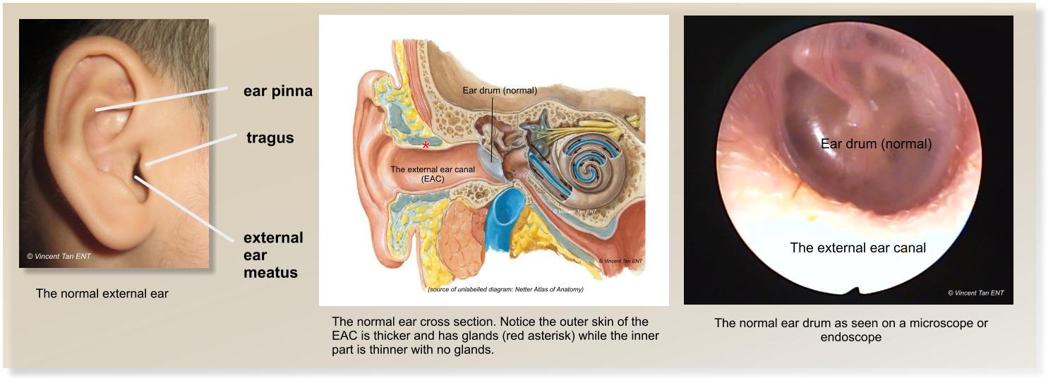 Preauricular Sinus Diagram - Enthusiast Wiring Diagrams •